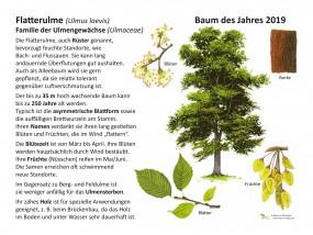 Flatterulme - Baum des Jahres 2019