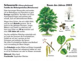 Schwarzerle - Baum des Jahres 2003