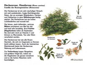 Heckenrose