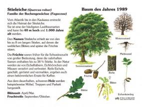 Stieleiche - Baum des Jahres 1989