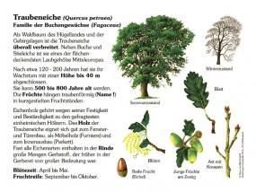 Traubeneiche - Baum des Jahres 2014