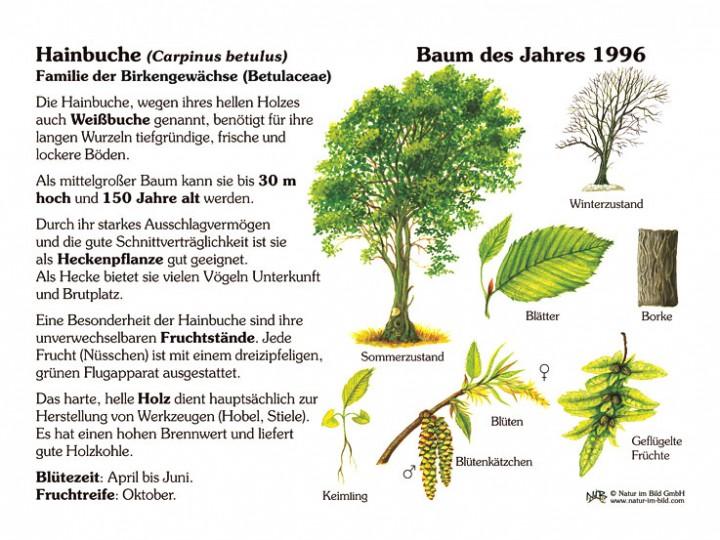 hainbuche baum des jahres 1996 30x40 cm pflanzen lehrtafeln natur im bild lehrtafeln. Black Bedroom Furniture Sets. Home Design Ideas