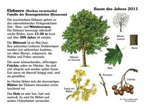Elsbeere - Baum des Jahres 2011