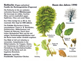 Rotbuche - Baum des Jahres 1990