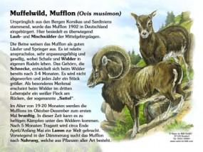 Muffelwild