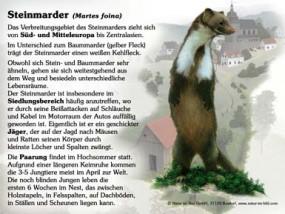Steinmarder