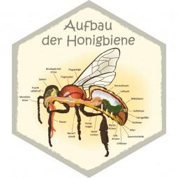 Wabe Aufbau der Honigbiene