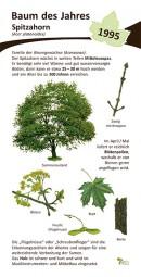 Spitzahorn - Baum des Jahres 1995