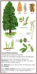 Urweltmammutbaum