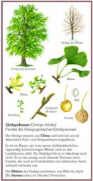Baum des Jahrtausends - Ginkgobaum