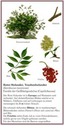 Hirschholunder, Roter Holunder