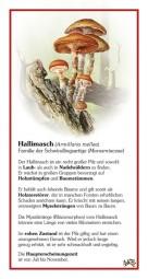 Hallimasch