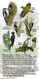 Spechte (6 Arten)