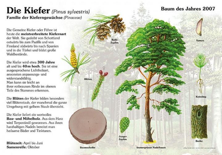 Die Kiefer 50x70 Amp 70x100 Cm Pflanzen Lehrtafeln