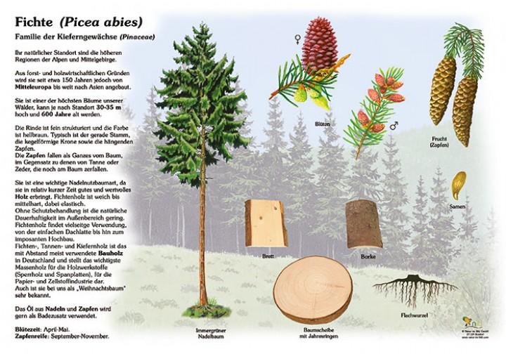 die fichte 50x70 70x100 cm pflanzen lehrtafeln natur im bild lehrtafeln f r natur. Black Bedroom Furniture Sets. Home Design Ideas