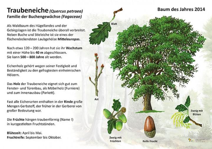 Die Traubeneiche 50x70 Amp 70x100 Cm Pflanzen